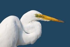 一个蓝色背景的美国极大的白鹭 免版税库存图片