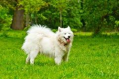 一个蓬松白色在绿色草坪的狗品种sammy愉快地戏剧 宠物走 库存图片