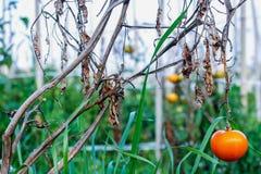 一个蕃茄在一个菜园里 免版税库存照片