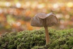 一个蘑菇在秋天 库存照片