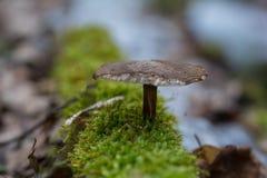 一个蘑菇的宏指令在森林 免版税库存图片