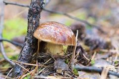一个蘑菇的特写镜头照片与露水下落的在青苔和betwe的 图库摄影
