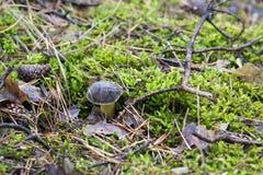 一个蘑菇的特写镜头照片与露水下落的在青苔和betwe的 库存照片