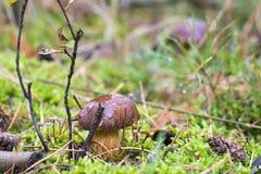 一个蘑菇的特写镜头照片与露水下落的在青苔和betwe的 免版税库存照片