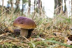一个蘑菇的特写镜头照片与露水下落的在青苔和betwe的 免版税库存图片