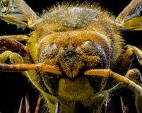 一个蜂后的宏观图片在仙人掌的 图库摄影