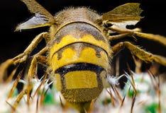 一个蜂后的宏观图片在仙人掌的 库存图片
