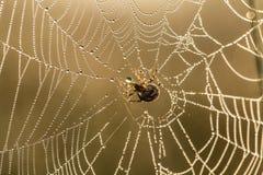 一个蜘蛛网的一个美丽的特写镜头在沼泽 与水滴的网在早晨光 图库摄影