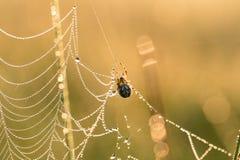 一个蜘蛛网的一个美丽的特写镜头在沼泽 与水滴的网在早晨光 免版税库存照片