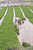 一个被充斥的米领域的工作者,中国南方 库存照片