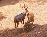 一个被察觉的鹿/Chital/Cheetal家庭 免版税库存照片