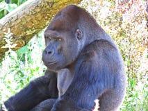 一个被隔绝的大强的黑猴子猿大猩猩头 库存照片