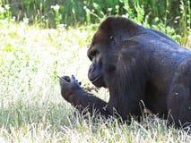 一个被隔绝的大强的黑猴子猿大猩猩头 库存图片