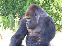 一个被隔绝的大强的黑猴子猿大猩猩头 免版税库存图片
