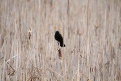 一个被隔绝的红色翼黑鹂在纸莎草栖息 免版税库存图片