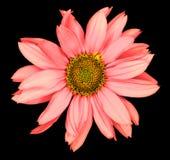 一个装饰向日葵Helinthus的红色花隔绝了 库存照片