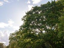 一个豪华的绿色橡树和太阳的上面在它后关闭  库存图片
