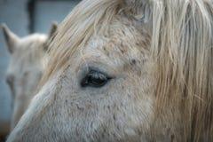 一个起斑纹的灰色或白马的眼睛 免版税库存照片