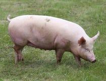 一个逗人喜爱的小猪的特写镜头照片动物农场夏令时的 免版税库存照片