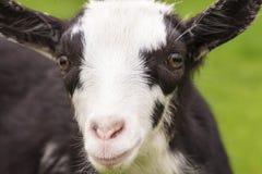 一个逗人喜爱的小的山羊特写镜头的画象 免版税库存图片