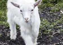 一个逗人喜爱的矮小的白色山羊特写镜头的画象 免版税库存照片