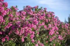 一个避暑别墅的五颜六色的庭院在斯科派洛斯岛海岛,希腊 免版税库存图片