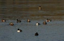 一个部分结冰的湖的冬天场面有Smew Mergus albellus的,装缨球鸭子Aythya fuligula,使用铲子工作的人语录clypeata,老傻瓜F 库存照片