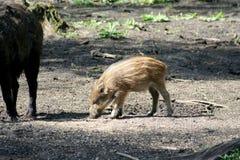 一个野公猪的猪 库存照片