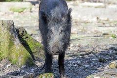 一个野公猪的画象 库存图片
