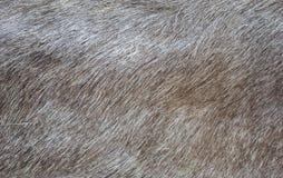 一个野公猪的皮肤的纹理 库存照片