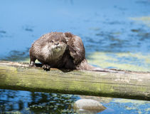 一个野生海狸 库存图片