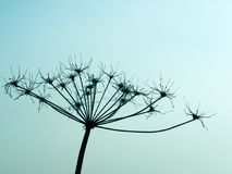 一个野胡萝卜的退色的开花的剪影在日落的 库存照片