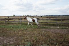 一个野马通过农场的一个草甸跑 免版税库存图片