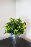 一个金属罐的春天绿色家庭植物在角落 免版税图库摄影