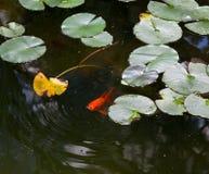 一个金鱼的特写镜头在池塘,亚伦庭院, 库存照片