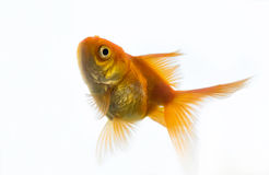 一个金鱼 免版税图库摄影