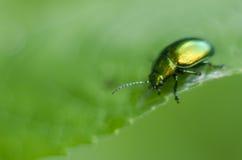 一个金黄闪烁的臭虫 描述在一片绿色叶子的宏观射击一只精采甲虫 喀尔巴阡山脉的植物群和动物区系 免版税库存图片