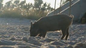 一个镶边小猪寻找在黑海海岸的食物 股票视频