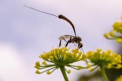 一个长有驱体的黄蜂喝从一朵黄色花的花蜜 免版税库存照片