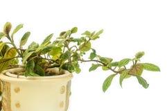 一个陶瓷罐的植物 免版税库存照片