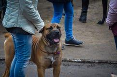 一个非常强有力的狗品种Cadebo在所有者旁边站立 在强有力,大胸口的稀薄的衣领 免版税图库摄影