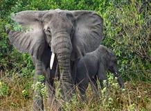 特写镜头野生非洲大象母亲&小小牛   免版税库存照片
