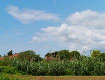 一个领域用在克罗地亚大陆的印第安玉米 免版税库存照片