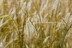 一个领域用大胆的麦子 麦子的小尖峰 黄色背景 免版税图库摄影