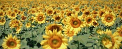 一个领域用许多向日葵,横幅背景的细节 库存图片