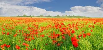 一个领域的全景与开花的鸦片的 库存图片