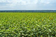 一个领域的向日葵植物阶段帽子形成和开花反对晴朗的天空的背景与云彩的 免版税库存照片