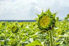 一个领域的向日葵植物阶段帽子形成和开花反对晴朗的天空的背景与云彩的 库存图片