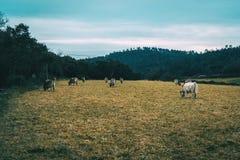 一个领域的风景在与许多母牛吃的一多云天 图库摄影