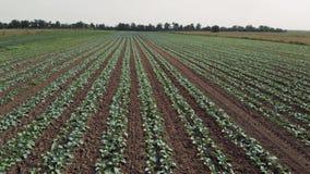 一个领域的风景视图用增长的圆白菜 影视素材